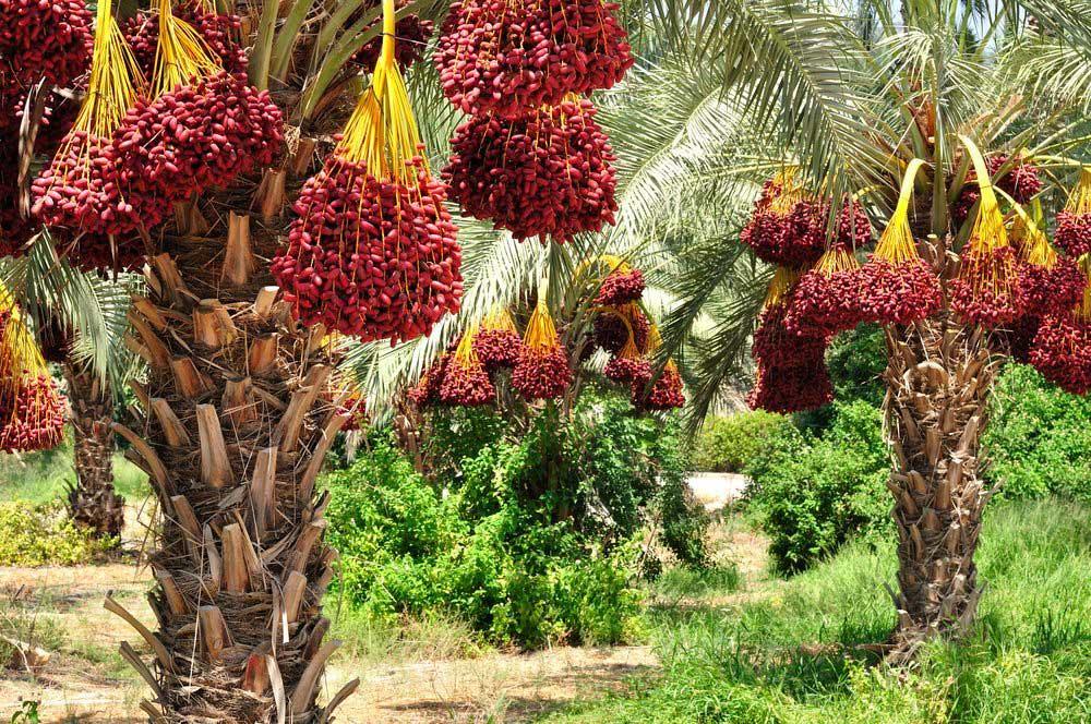 ثبت نخل در فهرست میراث فرهنگی یونسکو از سوی عمان